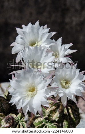Beautiful light white flowers of cactus - stock photo