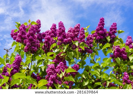 beautiful lilac flowers.  beauty bloom lilacs in the spring garden - stock photo
