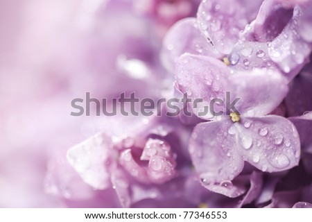 Beautiful lilac flowers close-up background - stock photo