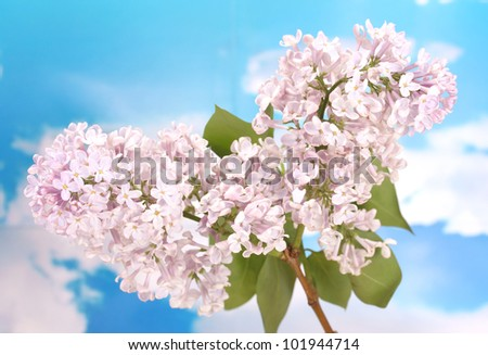 beautiful lilac flowers on blue sky background - stock photo