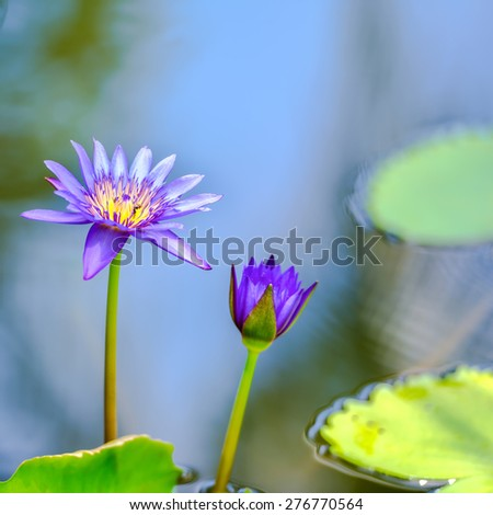 beautiful lilac waterlily or lotus flower in blue water, closeup   - stock photo