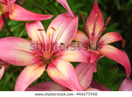 Beautiful lilies with raindrops on petals