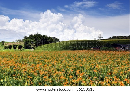 beautiful Lily field with fantastic clouds in the background