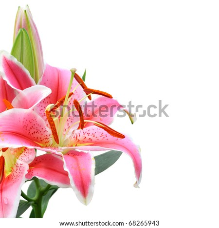 Beautiful Lily flower isolate on white - stock photo