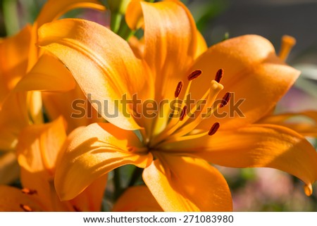 beautiful lily flowers blooming in floral garden - stock photo
