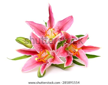 beautiful lily isolated on white background