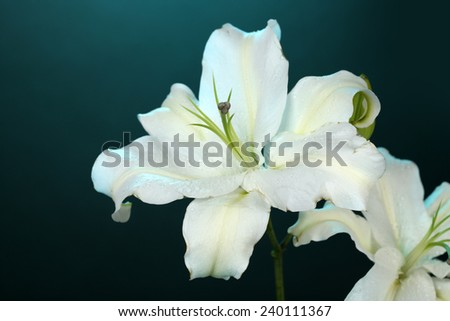 Beautiful lily on colorful background