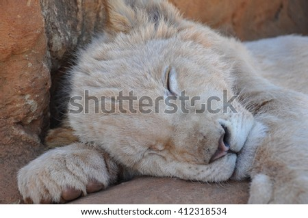 Beautiful Lion cub in South Africa - stock photo