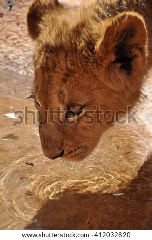 beautiful lion cub, south africa - stock photo