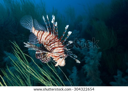 Beautiful lion fish (or turkey fish) hovering in mid water hunting for small prey in blue water over off coral on a coral reef in the Indian Ocean on the Mussandam coast of Oman - stock photo