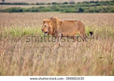 beautiful lion in the bush at the masai mara national park kenya - stock photo