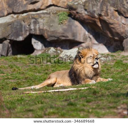 Beautiful Lion. Lion portrait - stock photo