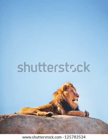 Beautiful Lion on top of a rock with blue sky, (Panthera leo) considered a threatened speacies. - stock photo