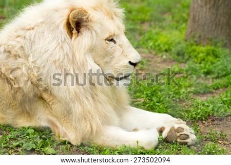 beautiful lion profile portrait - stock photo