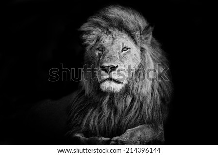 Beautiful Lion Romeo 2 in Masai Mara, Kenya - stock photo
