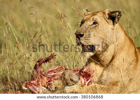 Beautiful lioness near its prey now pulped - stock photo
