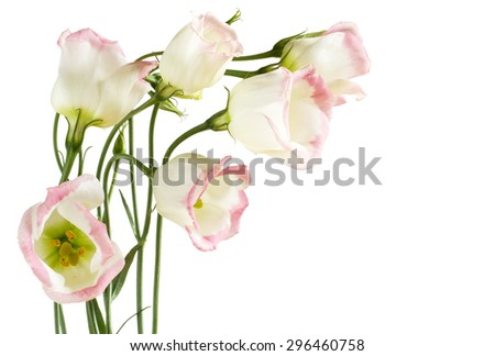 Beautiful lisianthus flowers on white - stock photo