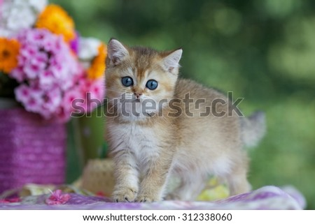 Beautiful little British kitten sitting on the table at the bright bouquet of summer flowers