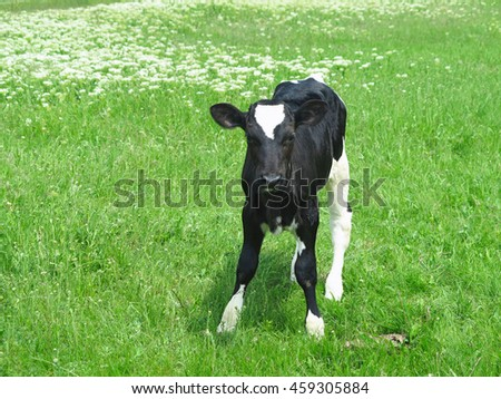 Beautiful little calf on the green sunny meadow grass - stock photo