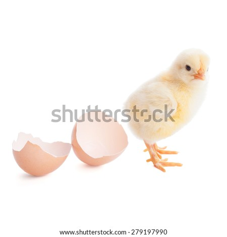 beautiful little chick  and eggshell isolated on the white - stock photo