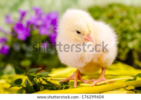 Beautiful little chicken - stock photo