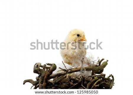beautiful little chicken and eggs in nest, isolated on the white - stock photo