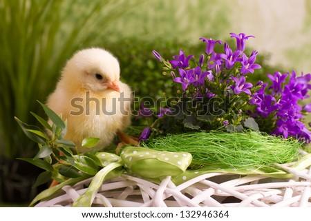 Beautiful little chicken on green background - stock photo
