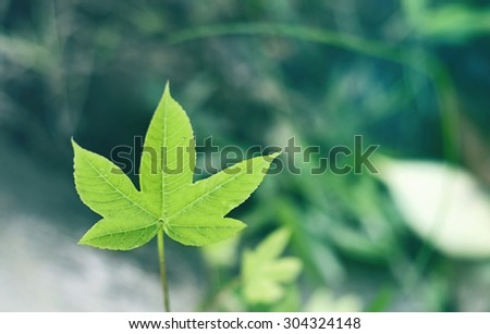 beautiful little green maple leaf on cool color tone, cross process green mint and blue color. freshness and chilling feeling. - stock photo