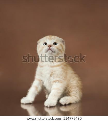 beautiful  little kitten,  breed scottish-fold,   on brown  background  ,stare look up - stock photo