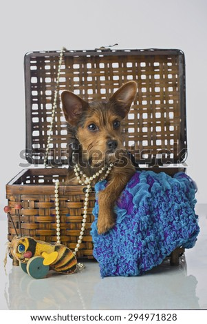 Beautiful little mixed breed Terrier in basket with pearls and toys  - stock photo