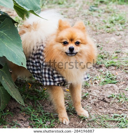 Beautiful little playful pomeranian red color