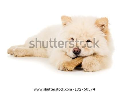 Beautiful little puppy chow chow gnaws bone - stock photo