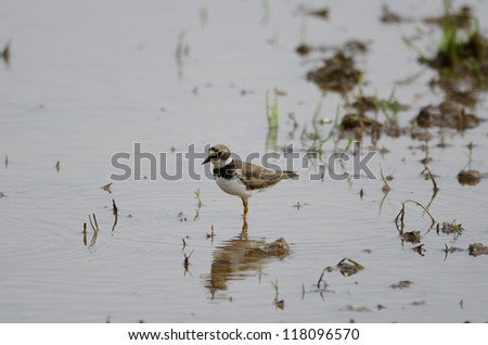 beautiful little ringed plover (Charadrius dubius)in paddyfields area - stock photo