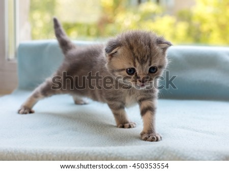 Beautiful little tabby kitten on a window sill. Scottish Fold breed. - stock photo