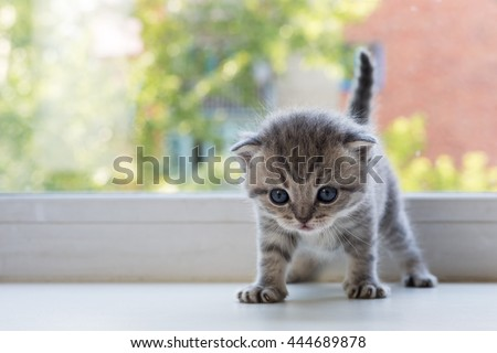 Beautiful little tabby kitten on window sill. Scottish Fold breed. - stock photo