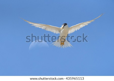 Beautiful Little tern flying on blue sky, freedom bird