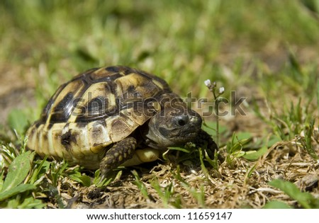 beautiful little turtle herman in green grass