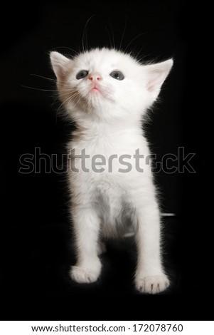 beautiful little white kitten sitting on a black background - stock photo
