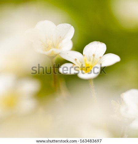 beautiful little white meadow flowers on a green background