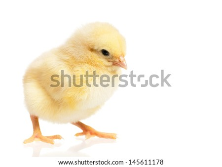 Beautiful little yellow chicken, isolated on white background