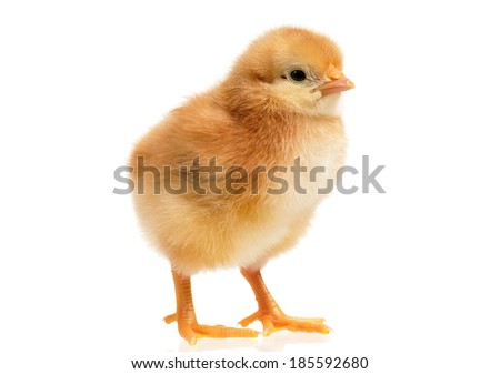Beautiful little yellow chicken, isolated on white background - stock photo