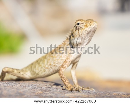 Beautiful lizard on the rock in sunny day.