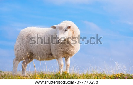 Beautiful Lone Sheep in the countryside.  - stock photo