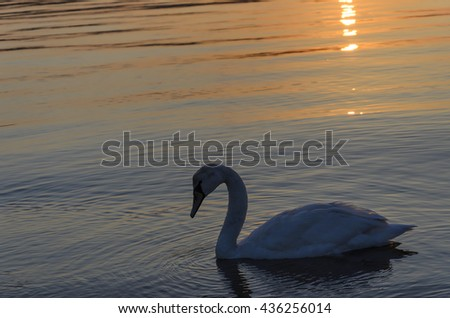 Beautiful lonely swan in the water at sunset.