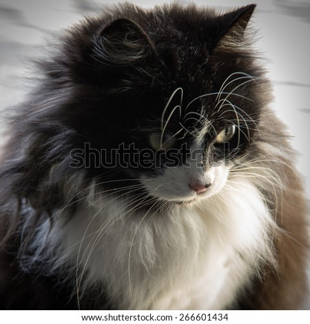 Beautiful long fur black and white cat with yellow eyes and long - stock photo