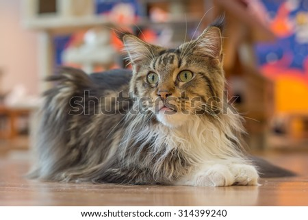 beautiful long hair cat sitting on the wooden floor