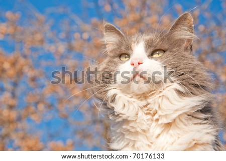 Beautiful long haired diluted calico cat against blue sky and a tree with dry brown leaves - stock photo