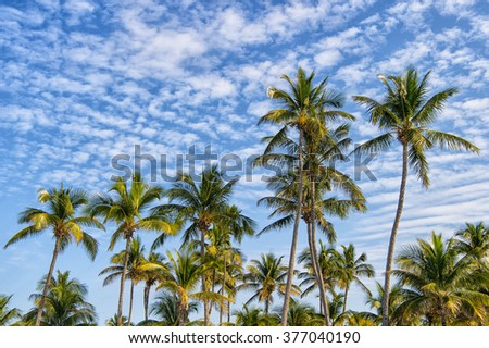 Beautiful long tropical palm trees with green leaves in windy weather with blue cloudy sky, horizontal picture