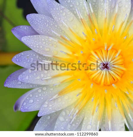 Beautiful lotus background - stock photo