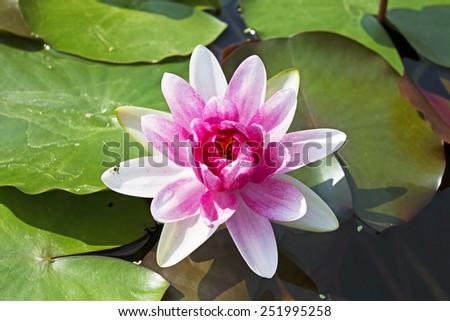 Beautiful Lotus flower - stock photo